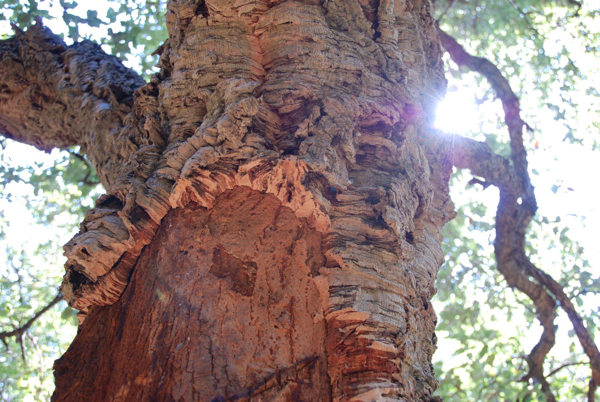 Korkbäume am Cap Corse